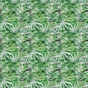 Lacy Leaf Sativa