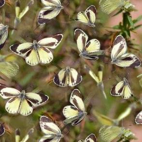 Dainty Sulphur Butterflies