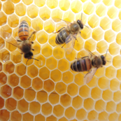 Honeycomb_with_bees