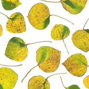 life-sized yellow aspen leaves on white