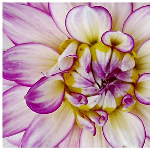 purple_and_yellow_flower_close_up1-ed