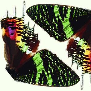 Urania (Chrysiridia) Croesus Butterfly Wings