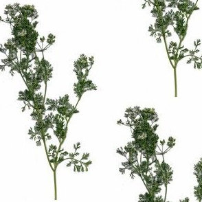 Sprigs of Cilantro (original)