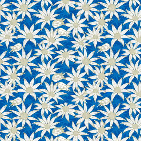 Flannel flowers (blue)
