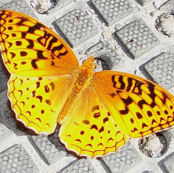 Great_Spangled_Fritillary_butterfly