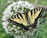 Reastern_tiger_swallowtail_thumb