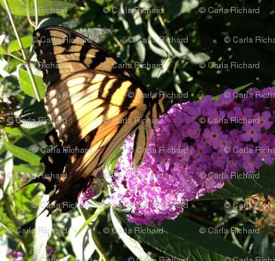 butterfly2__2013_crop