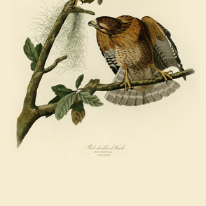 01-red-shouldered-hawk