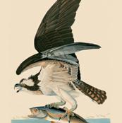 03-osprey