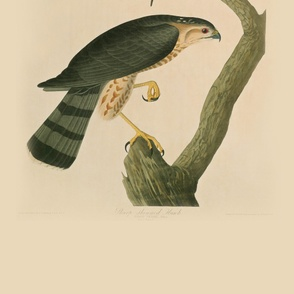 06-sharp-shinned-hawk