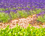 Rrlavender_fields_ed_thumb