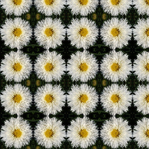 White Asters 4731