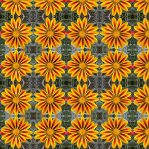 Red+Yellow Gazania 4651