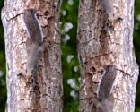 Rsquirrel_tree_larger_6071_thumb