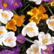 Crocus_carpet_better_one