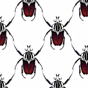 Beetle Lattice