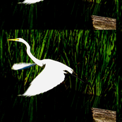 White Egret Flying-ed