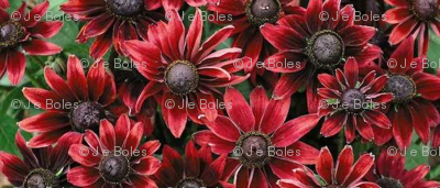 rudbeckia_cherry_brandy_22