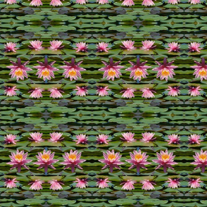 Pink Water Lilies 4176