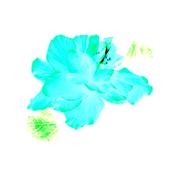 Turquoise Hibiscus