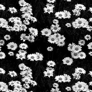 black and white- scattered daisies in the grass