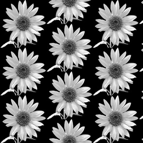 black and white -daisy