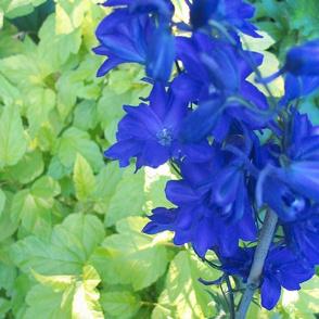 Cobalt Blue Larkspur