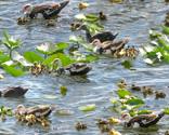 Rrhyacinths_and_ducklings_8182_thumb