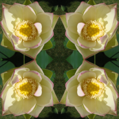Lotus Flower Summer