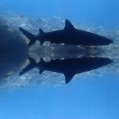 Maui Shark