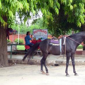 Horse iin Jaipur