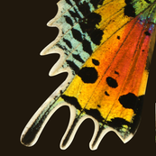Oversized Sunset Moth Wings