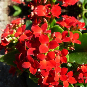 Red flowers cascading