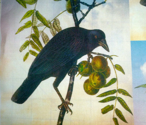 American Crow, Male
