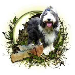 Bearded Collie - 011