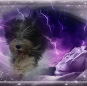 Bearded Collie - 012