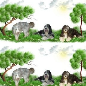 Bearded Collie - 013
