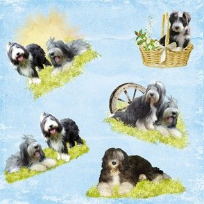 Bearded Collie - 015