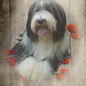 Bearded Collie - 017