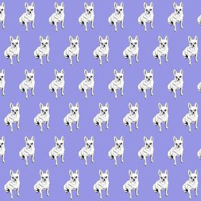 Moose the Chihuahua