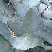 Euc leaves