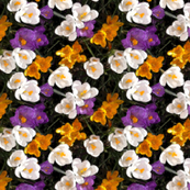 Crocus  carpet  small