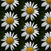 Daisy    small