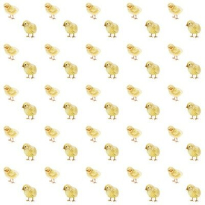 Mini Baby Chicks on White