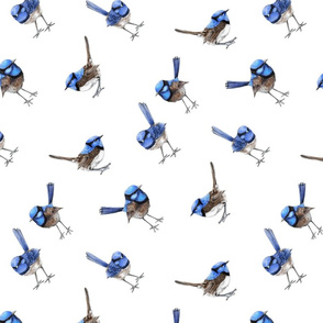Blue Wrens, BIAS, Scattered on White