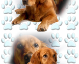 Rgolden_retriever2_with_pawprints_thumb