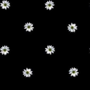 Daisy Polkadot