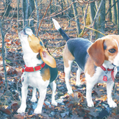 Beagles in the Woods