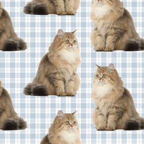 Brittish Longhair Cat