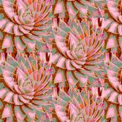 Aloe Rose